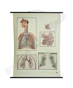 Anatomische schoolplaat 'Longblaasjes'