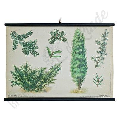 Botanische schoolplaat 'Jeneverbes'