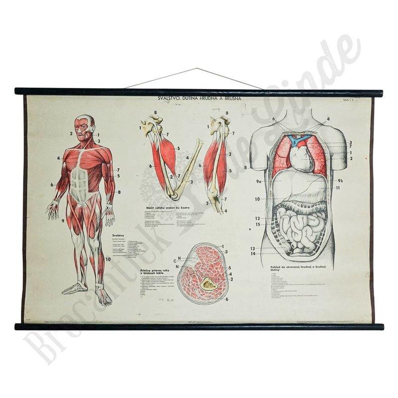 Anatomische schoolplaat 'Spierenstelsel'