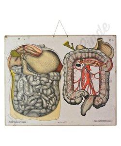 Anatomische schoolplaat 'De Verteringsorganen'