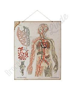 Anatomische schoolplaat 'Bloedcellen'