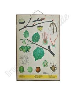 Botanische schoolplaat 'Hazelnoot'