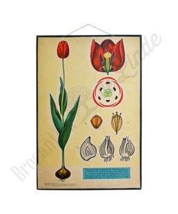 Oude botanische schoolplaat 'Tulipa gesneriana'