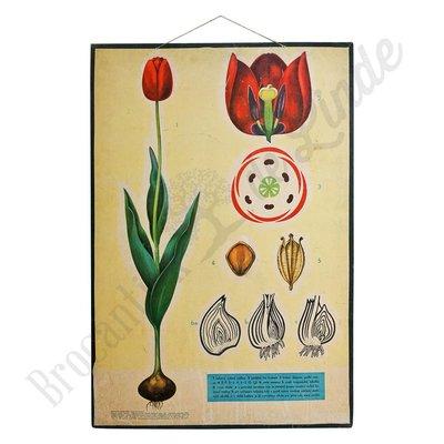 Oude botanische schoolplaat 'Tulp'