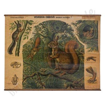Vintage zoölogische schoolplaat 'Eekhoorn'