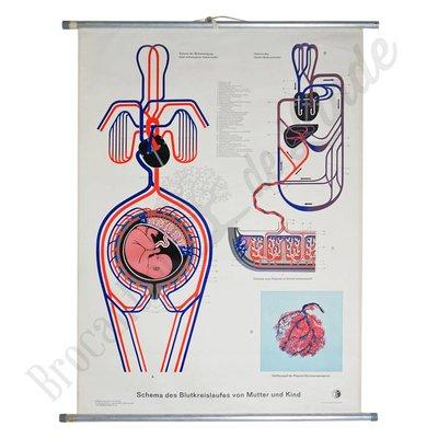 Anatomische schoolplaat 'Bloedcirculatie'