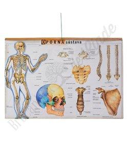 Anatomische schoolplaat 'Skelet'