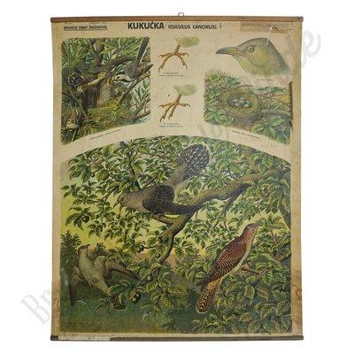 Oude zoölogische schoolplaat 'Koekoek'