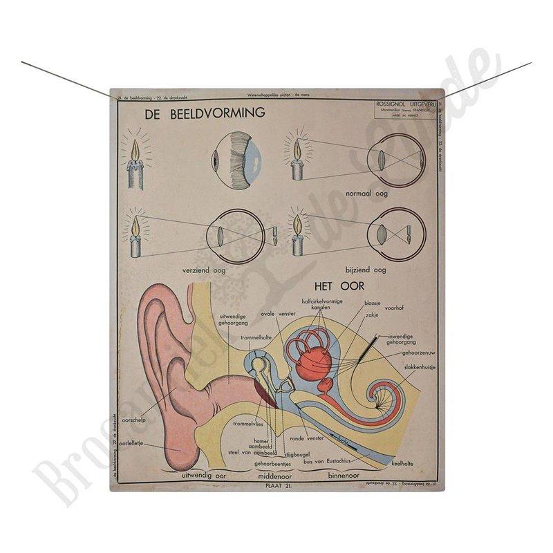 Anatomische schoolplaat drankzucht/gehoor