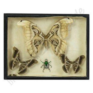 Vintage vlinderlijst 'Atlas vlinder'