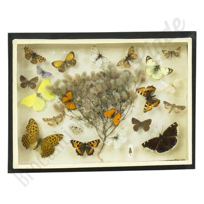 Vintage vlinderlijst No. 40