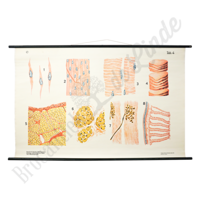 Anatomische schoolplaat 'Weefsel'