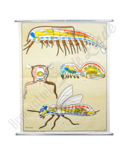 Anatomische schoolplaat 'Doorsnede vlieg'