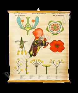 Botanische schoolplaat 'Bloeien en bestuiven'