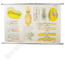 Anatomische schoolplaat 'Organen van het embryo'