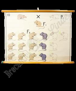 Scheikundige schoolplaat 'Muizen'