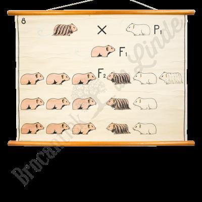 Scheikundige schoolplaat 'Cavia No. 8'