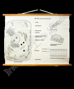 Anatomie van een cel