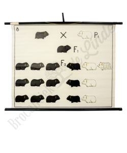 """Scheikundige schoolplaat """"Fenotype No.1"""""""