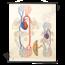 """Anatomische schoolplaat """"Bloedsomloop No.2032"""""""