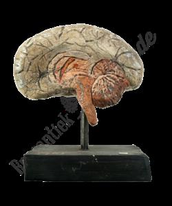 Anatomisch model hersen No.1