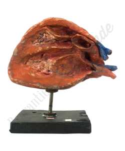 Anatomisch model hart No.2