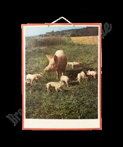 Zoölogische schoolplaat 'Varkens'