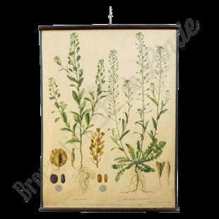 Botanische schoolplaat