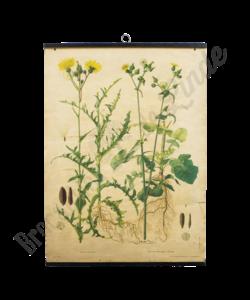 Botanische schoolplaat 'melkdistel'