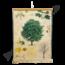 Botanische schoolplaat (Esdoorn)