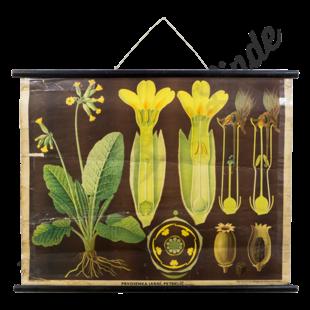 Botanische schoolplaat 'Sleutelbloem'