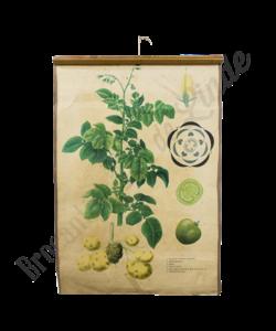 Botanische schoolplaat (Aardappelen)