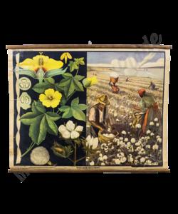 Botanische schoolplaat (Katoen)