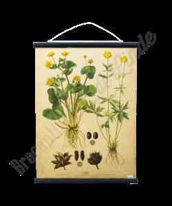 Botanische schoolplaat (Boterbloem)