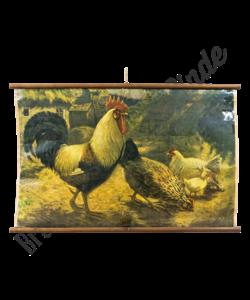 Zoölogische schoolplaat (Haan en kip)