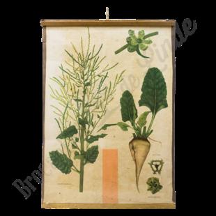 Botanische schoolplaat 'Suikerbiet'