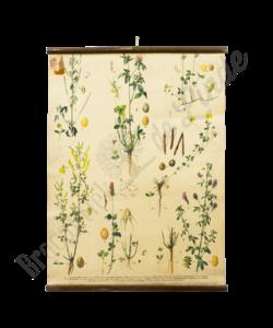 Botanische schoolplaat (Planten soorten)