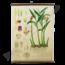 Botanische schoolplaat (Gember)