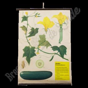 Botanische schoolplaat 'Komkommer'