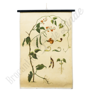 Botanische schoolplaat 'Bonen'