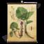 Botanische schoolplaat (Hoefblad)