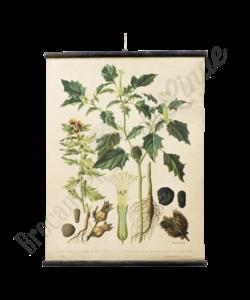 Botanische schoolplaat (Burundanga)