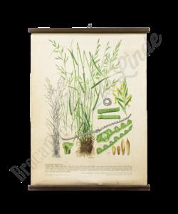 Botanische schoolplaat (Gras)