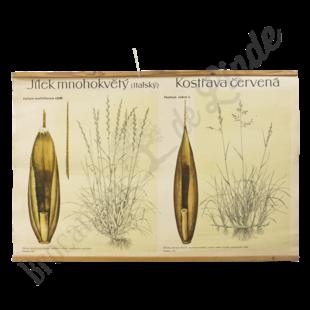 Botanische schoolplaat 'Granen'