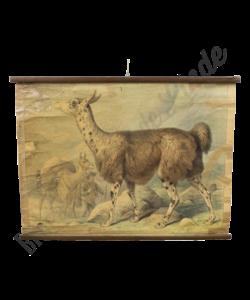 Zoölogische schoolplaat (Alpaca)
