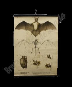 Zoölogische schoolplaat (Vleermuis)