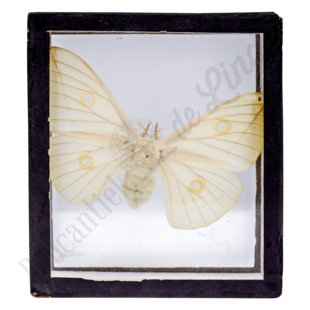 Vintage vlinderlijst No. 100