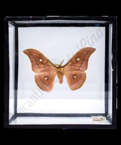 Vintage vlinderlijst No. 93