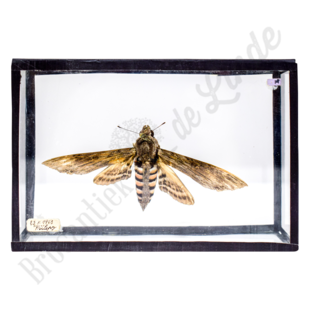 Vlinderlijst No. 87