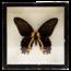 Vlinderlijst No. 105